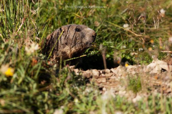 Una delle tante marmotte incontrate